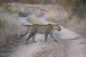 LeopardHunt.jpg