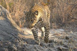 LeopardTemite.jpg
