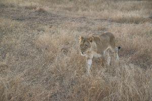 Lion17.jpg