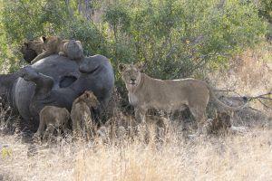 LionRhino.jpg