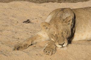 Lionsleepng17.jpg