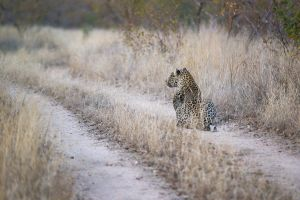 leopardkill17.jpg